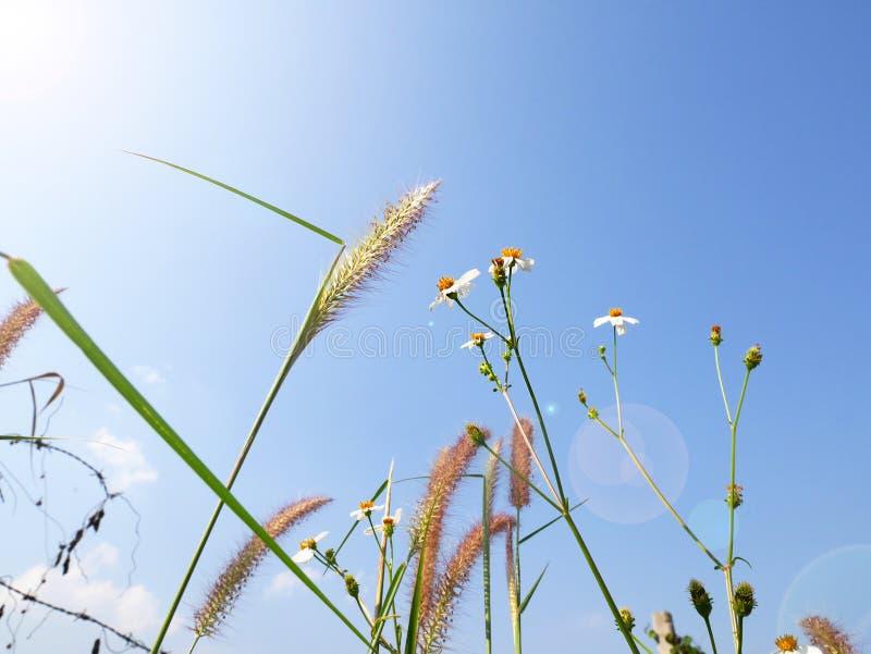 青蛙眼睛观点的草和雏菊在蓝天下 库存图片
