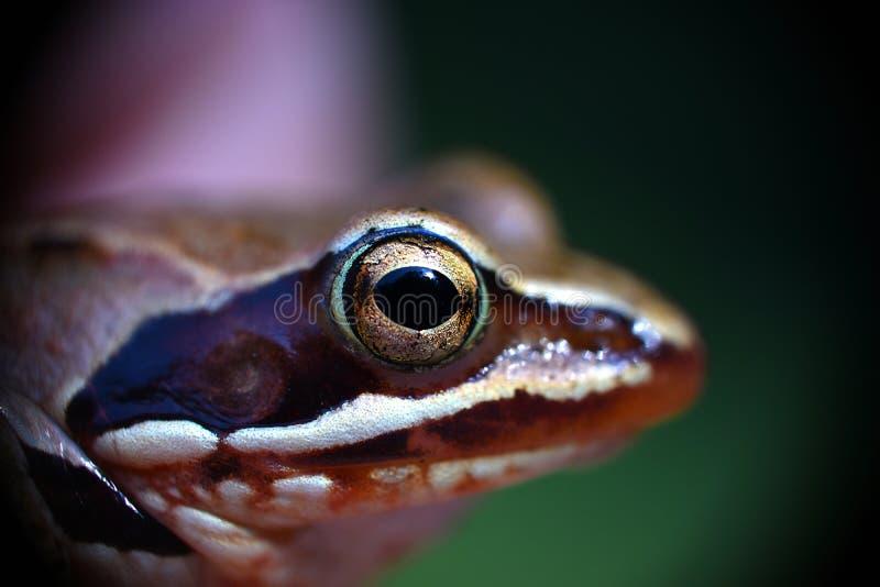 青蛙眼睛 免版税图库摄影