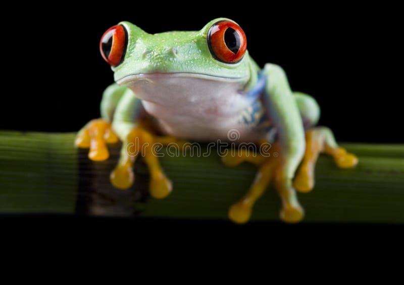 青蛙红色 库存照片