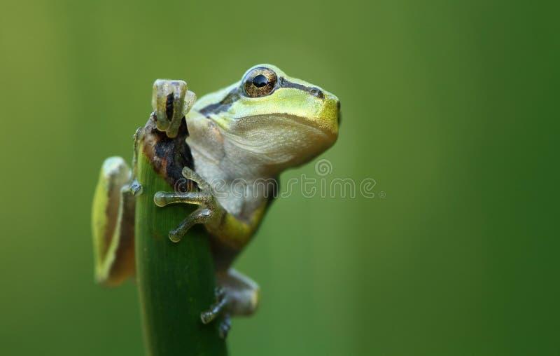 Download 青蛙结构树 库存照片. 图片 包括有 蟾蜍, 青蛙, 本质, welted, 绿色, 自然, 敌意, 野生生物 - 15679438
