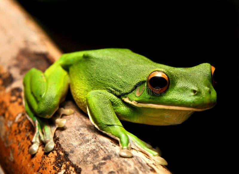青蛙绿色有嘴白色 库存图片