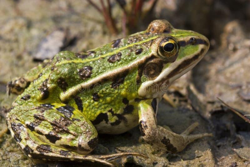青蛙绿色沼泽 免版税图库摄影