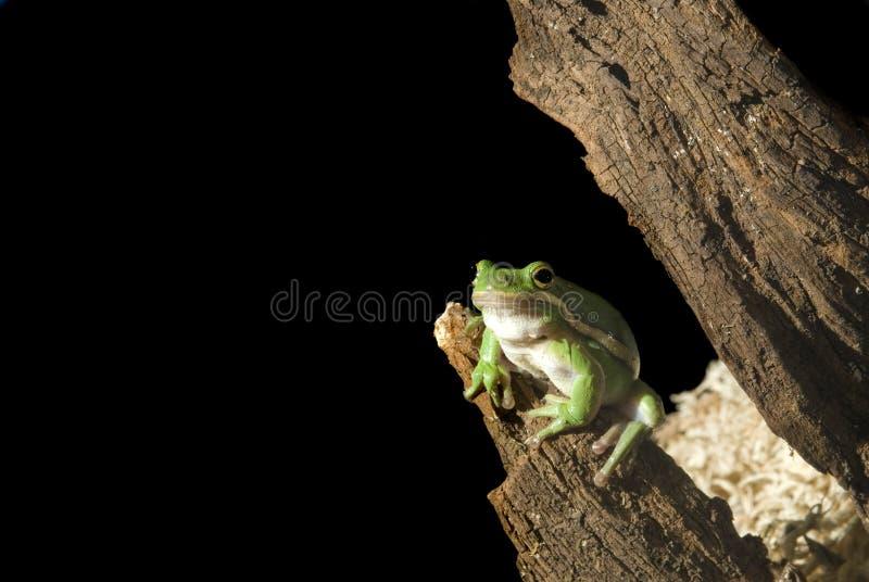 青蛙绿色结构树 图库摄影