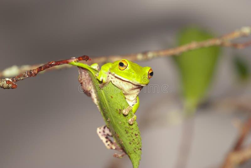 青蛙绿色moltrechtis结构树 免版税库存图片