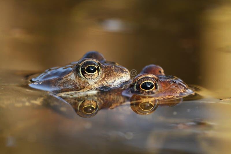 青蛙联接 免版税库存图片