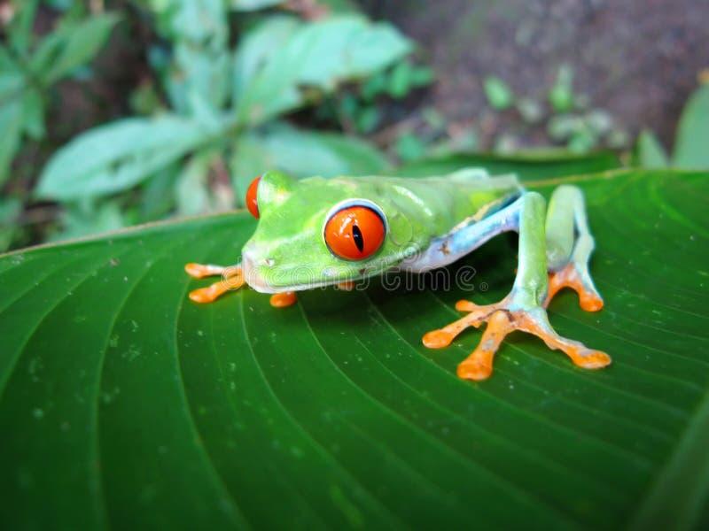 青蛙花里胡哨的叶子 免版税库存照片
