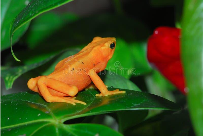 青蛙金黄丑角 库存照片