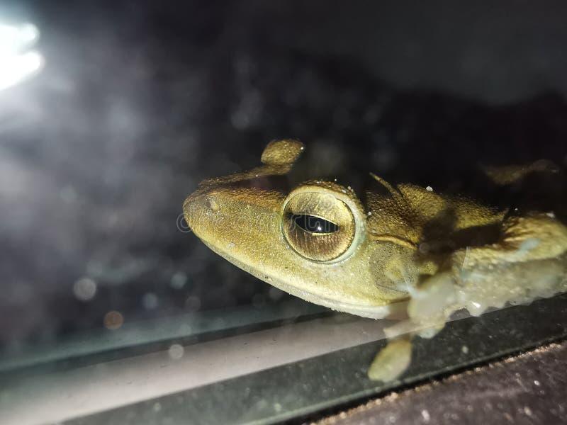 青蛙金黄眼睛 免版税库存图片
