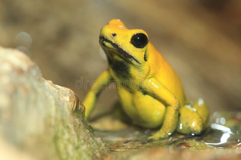 青蛙金黄毒物 库存照片