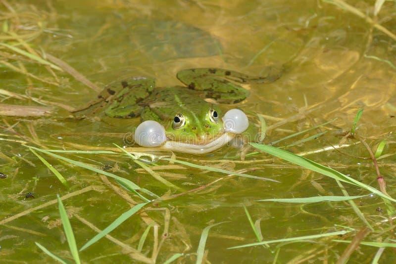 青蛙青蛙 交配季节 底5月 库存图片