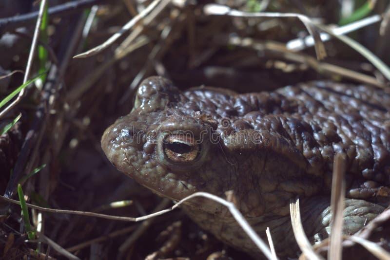 青蛙面孔宏指令 无尾部的两栖动物 昆虫庭院的防御者 库存图片