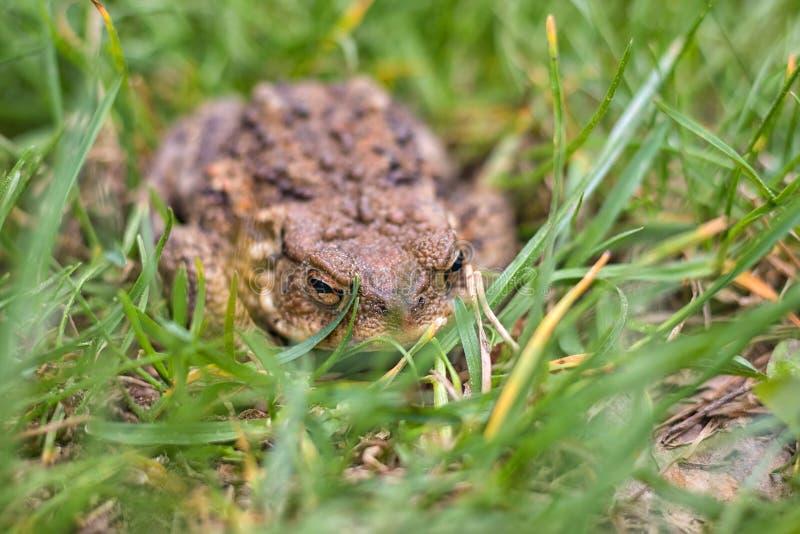 青蛙 — 藏在草丛中的棕色蟾蜍 免版税库存照片