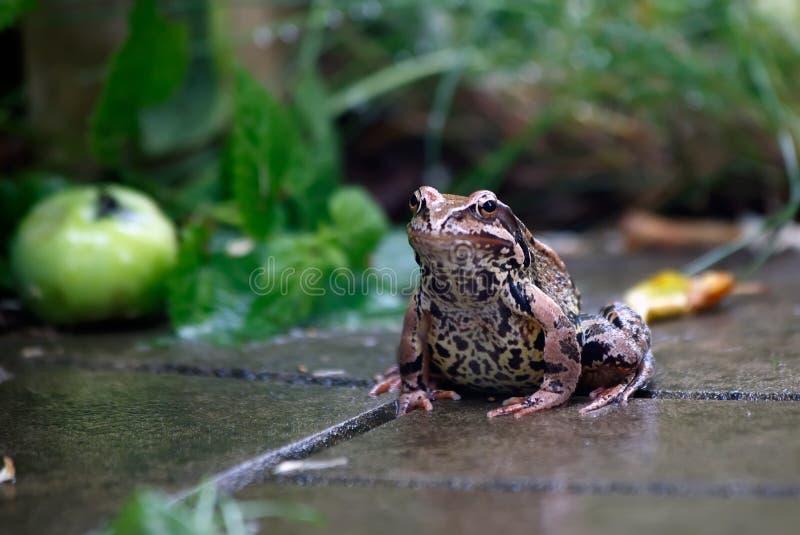 青蛙 雨 夏天雨在庭院里 青蛙坐 库存照片