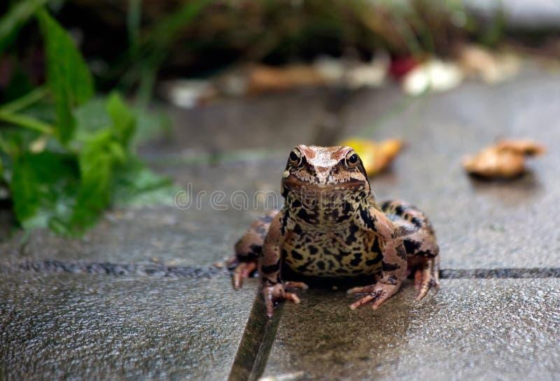 青蛙 雨 夏天雨在庭院里 青蛙坐 免版税图库摄影