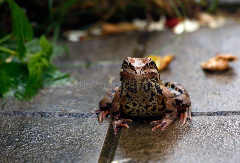 青蛙 雨 夏天雨在庭院里 青蛙坐 免版税库存图片