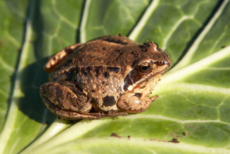 青蛙 免版税图库摄影