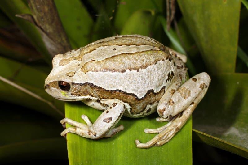 青蛙gastrotheca有袋动物riobambae 免版税库存照片