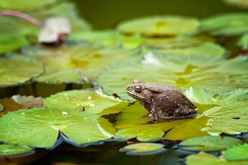 青蛙lilypad 免版税图库摄影