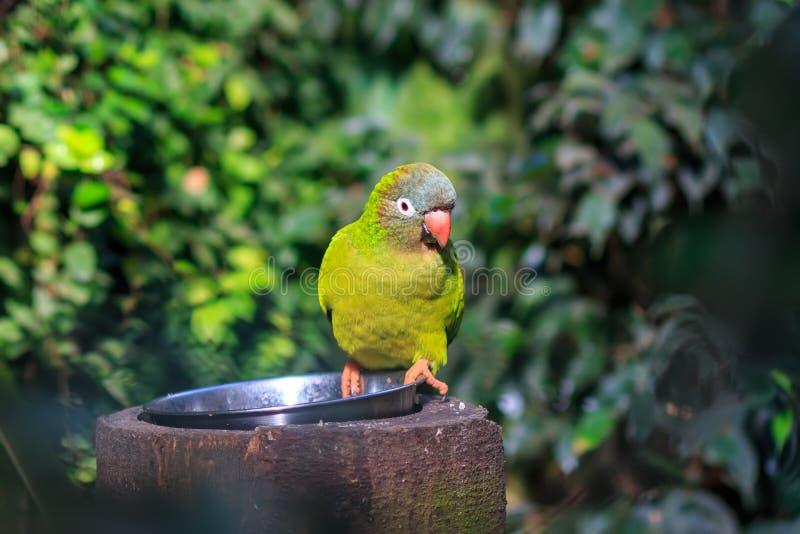 青被加冠的长尾小鹦鹉、青被加冠的conure或者锋利被盯梢的conure 库存图片