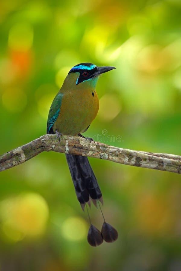青被加冠的Motmot, Momotus momota,好的大鸟狂放的自然, beautifull画象上色了森林背景,艺术视图,肋前缘 免版税库存照片