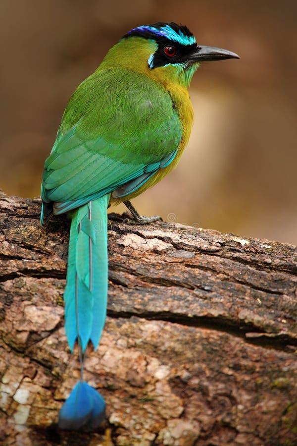 青被加冠的Motmot, Momotus momota,好的绿色和黄色鸟,狂放的自然,动物在自然森林栖所, COS画象  免版税库存图片