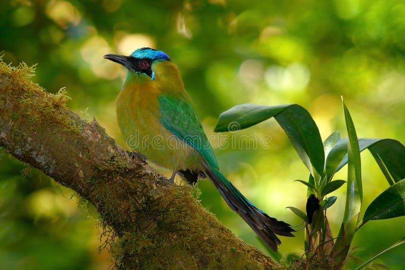 青被加冠的Motmot, Momotus momota,好的绿色和黄色鸟,狂放的自然,动物在自然森林栖所, COS画象  图库摄影
