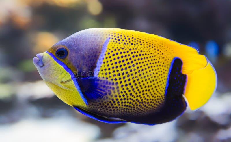 青被环绕的神仙鱼 免版税图库摄影