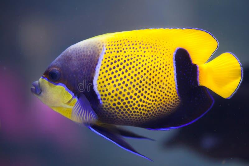 青被环绕的神仙鱼(Pomacanthus navarchus) 库存图片