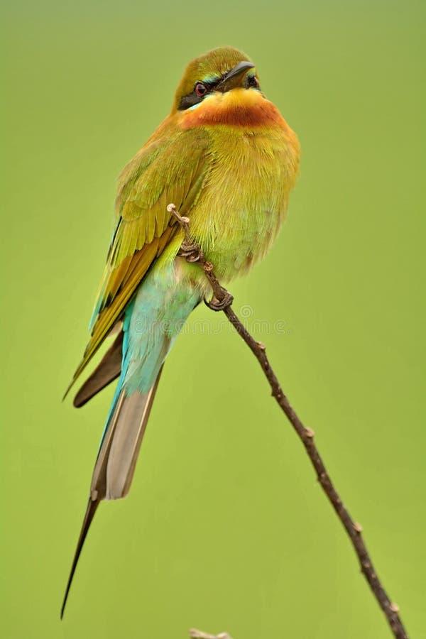 青被盯梢的食蜂鸟。 免版税库存图片