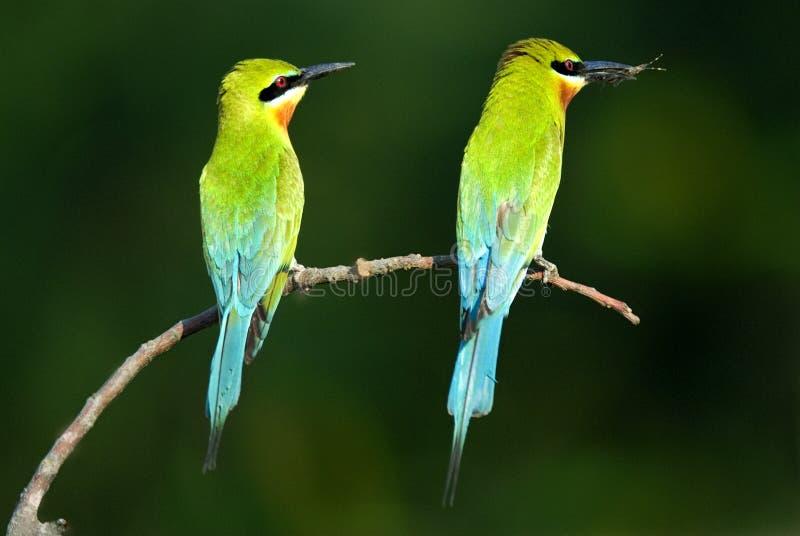 青被盯梢的食蜂鸟对 免版税库存图片