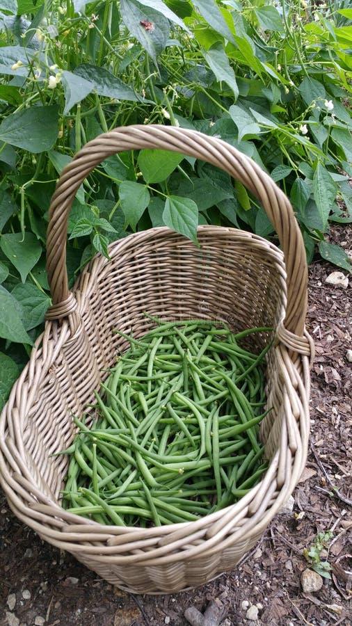 青豆篮子在庭院里 免版税图库摄影