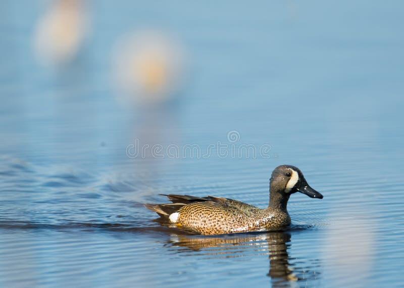 青飞过的小野鸭游泳在有模糊的香蒲的/在前景用茅草盖沼泽地池塘-在没有的Crex草甸野生生物地区 图库摄影