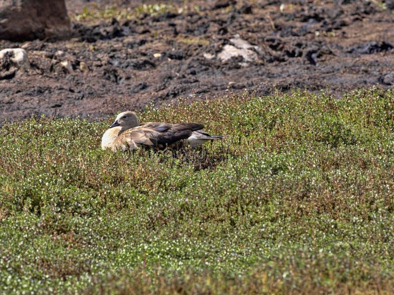 青飞过的鹅,Cyanochen cyanopterus,在埃塞俄比亚的山吃草 免版税库存照片