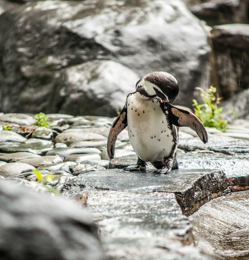 青年企鹅 免版税库存图片