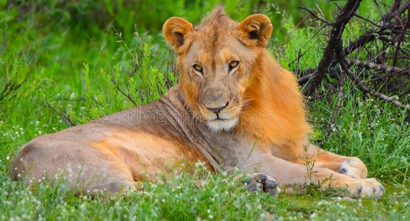 青年期公狮子 免版税库存照片