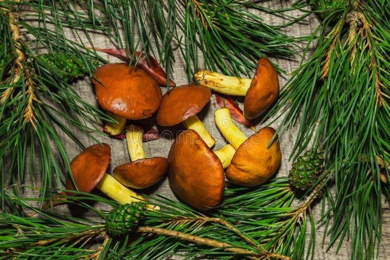静物画用与杉木分支的黄油蘑菇 免版税图库摄影