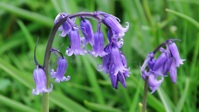 非会开蓝色钟形花的草英国hyacinthoides scripta 图库摄影