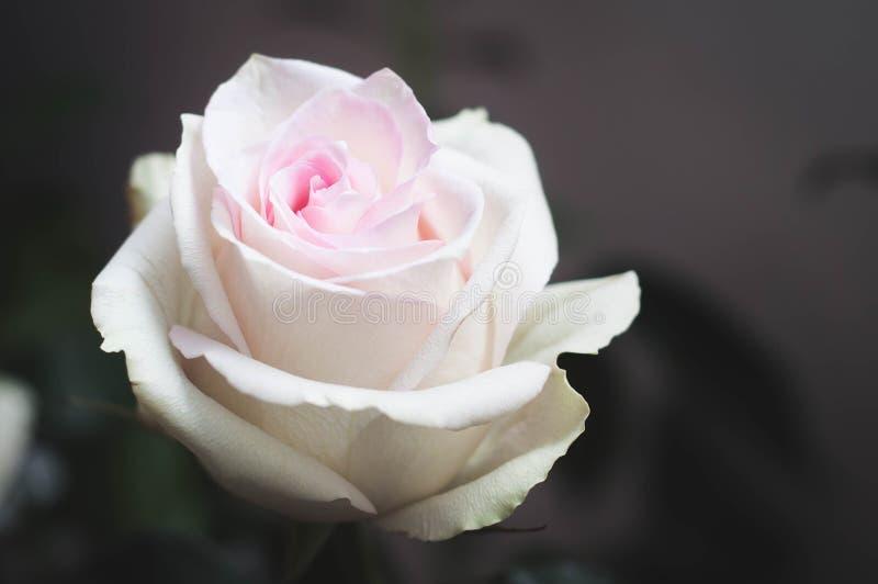 非常与珊瑚瓣的美丽的浪漫玫瑰在照片的左角与安静处理的设色在绿色口气 库存照片