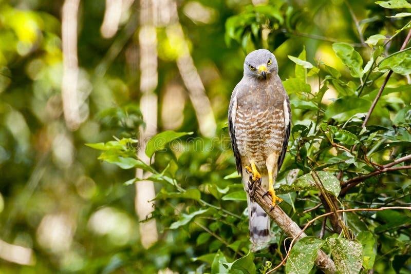 非常严肃的被栖息的路旁鹰 库存照片