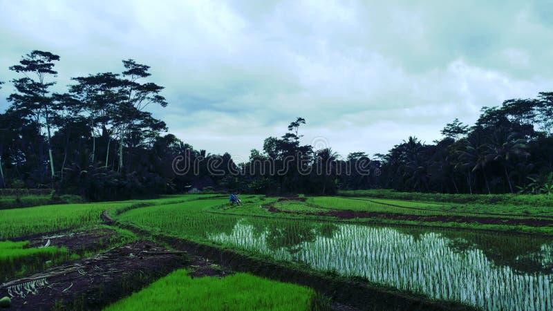 非常凉快的ricefield 免版税图库摄影