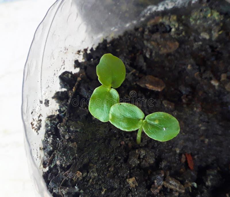 非常可食西番莲年轻的幼木,激情激情花共同的果子的藤种类或Gulupa,宏观摄影 免版税库存图片