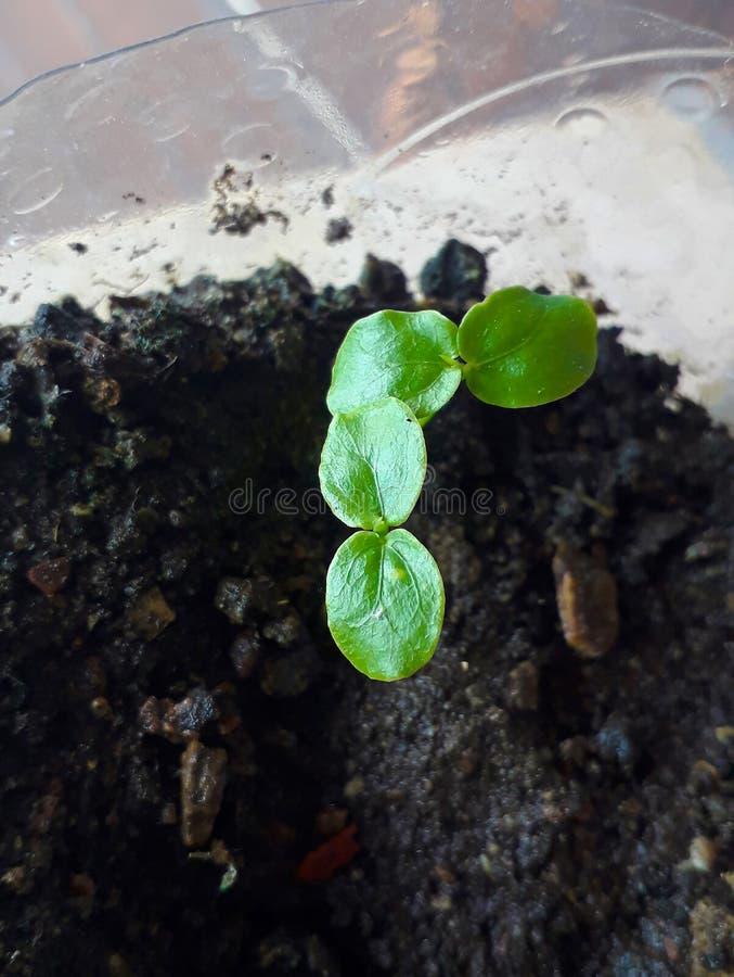 非常可食西番莲年轻的幼木,激情激情花共同的果子的藤种类或Gulupa,宏观摄影 免版税库存照片