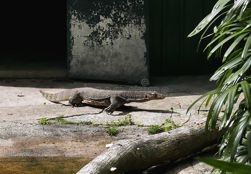 非常囚禁大蜥蜴爬行动物 库存照片