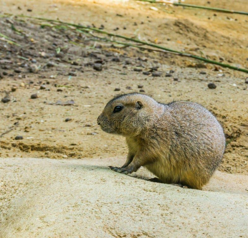 非常在一个岩石的逗人喜爱的草原土拨鼠在可爱的啮齿目动物动物画象的关闭 免版税图库摄影