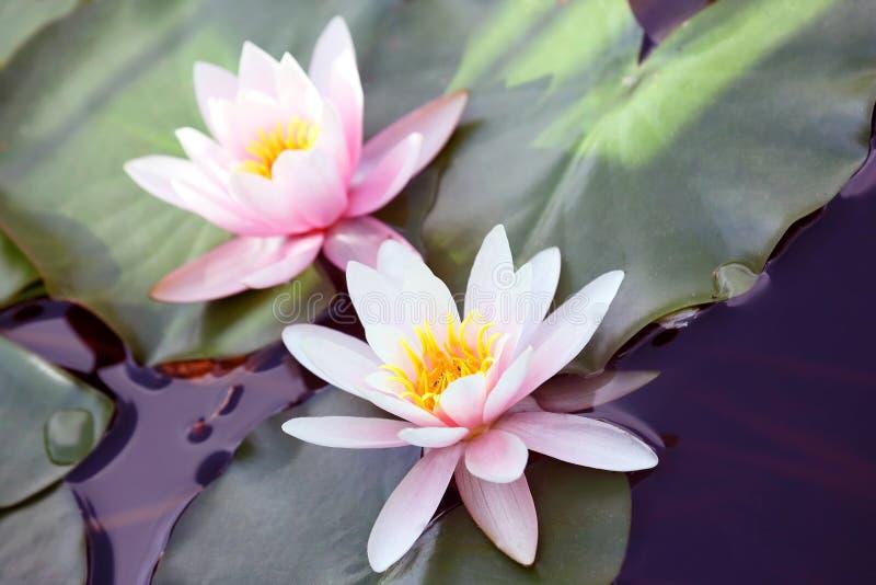非常在池塘关闭的水多的开花的莲花  库存照片