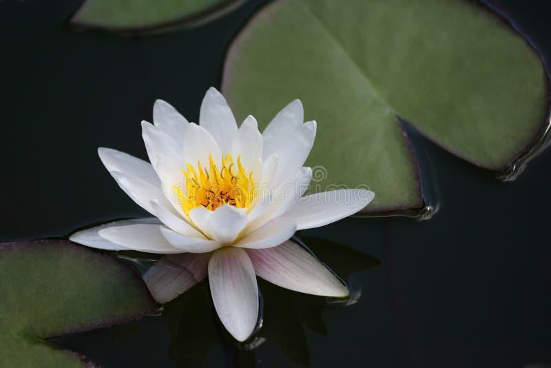 非常在池塘关闭的水多的开花的莲花  免版税库存照片