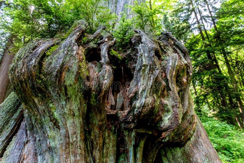 非常在雨林雪松的有趣的看的结 免版税库存照片