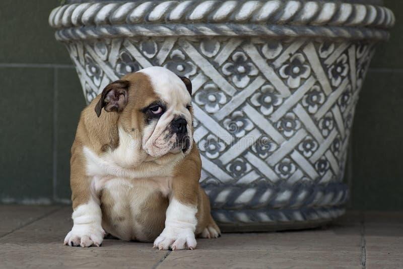 非常坐在一个被仿造的花瓶旁边的逗人喜爱的英国牛头犬小狗 库存照片