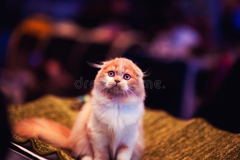 非常好和柔和的全部赌注 红色猫 动物界 免版税图库摄影