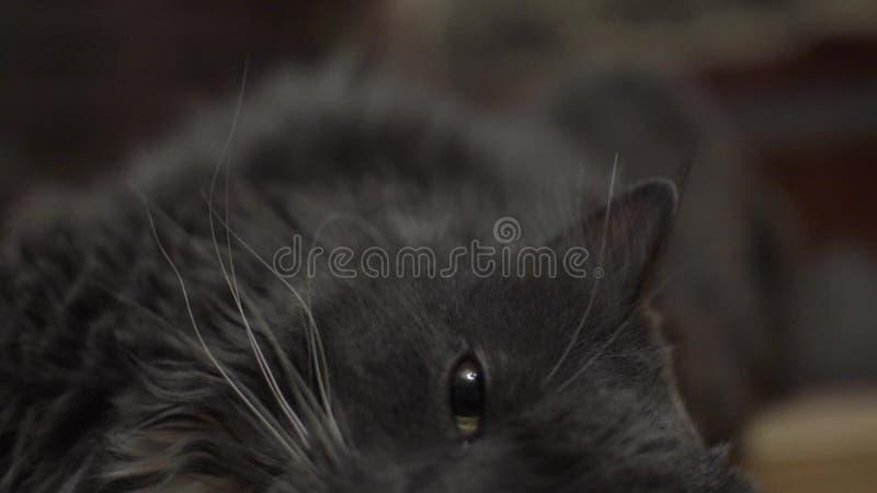 非常好的灰色英国猫在它的边说谎 影视素材